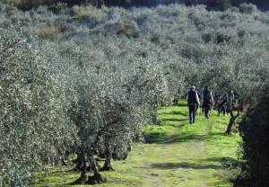 gli olivi di Buti a Passo Nordico